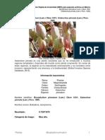 Bryophyllum_pinnatum