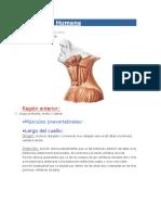 Anatomía Humana Musculos Del Cuello