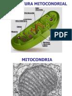 4.MITOCONDRIA.ppt