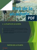 Cultivo de La Alcachofa