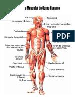 Sistema Muscular Do Corpo
