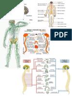 Anatomía, el sistema nervioso