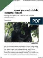 El Jefe Chimpance Que Acuno Al Bebe