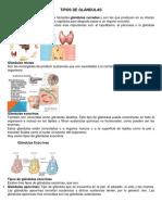 TIPOS DE GLÁNDULAS.docx