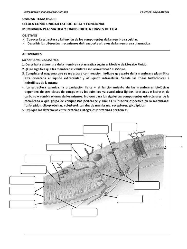 Ut Iii Celula Membrana Y Transporte A Traves De Membrana
