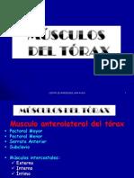 Caja - Musculos Del Torax