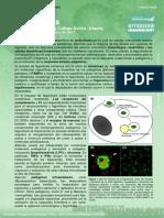 5. Phagocytosis (Fagocitosis)