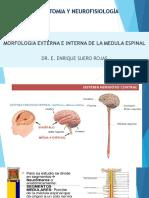 Medula Espinal Estructura Arco Reflejo