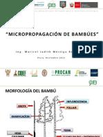 Micropropagación m.mostiga Piura