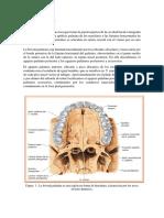 Informe Boveda Palatina, Hueso Hioides y Aparato Hioideo