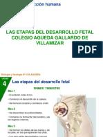 Diapositivas de Etapas Del Embarazo