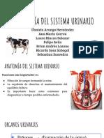 Semiología sist. urinario (bovinos)