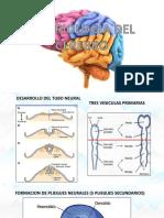 Embriología del cerebro