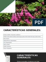 Satureja Multiflora