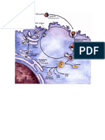 LDLR Biosynthesis and Transport
