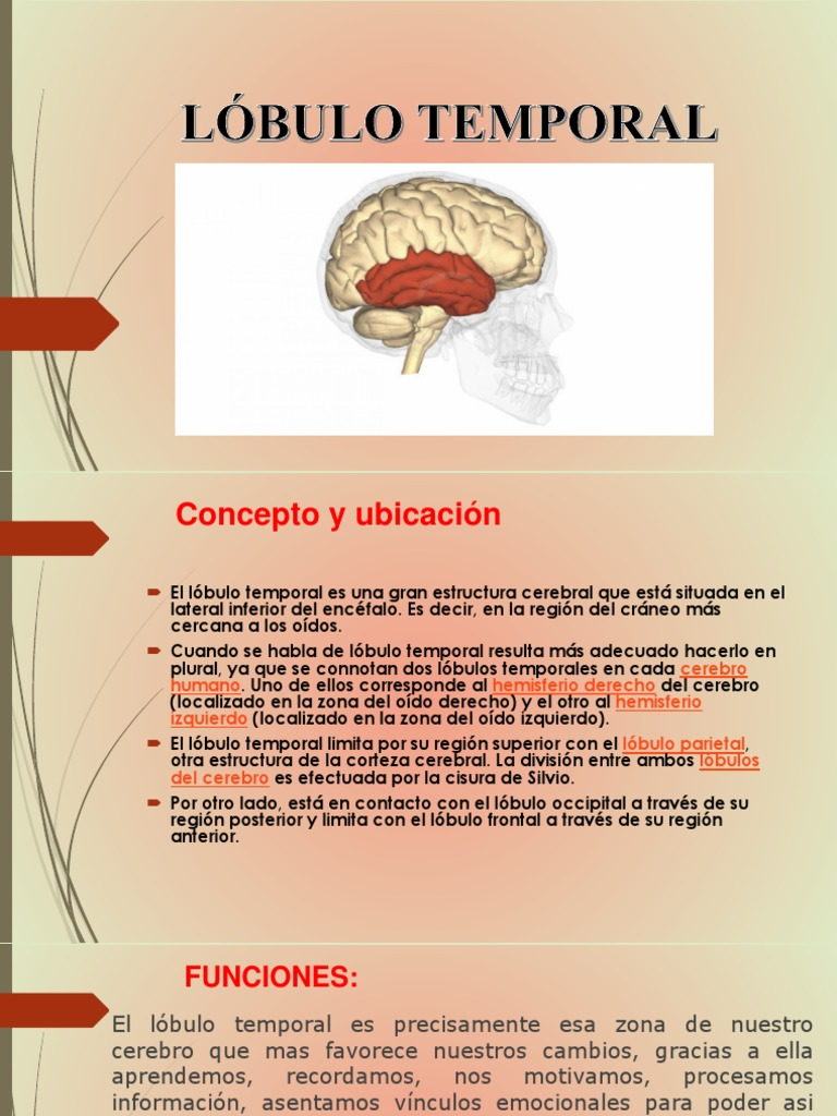 Lobulo Temporal Lóbulo Temporal Cerebro