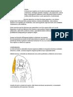 Lóbulos frontales desarrollo