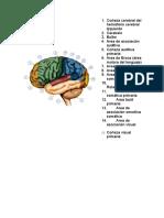 Corteza Cerebral Del Hemisferio Cerebral Izquierdo