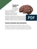 Cisuras Del Cerebro