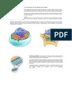Las Funciones de Las Partes de La Célula