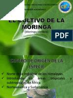 Cultivo de La Moringa