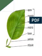 Plant Leaf Anatomy
