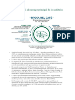 Broca Del Café