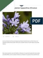 Agapanthus Africanus