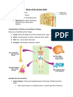 Bones of the Human Body informe.docx