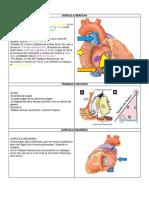 ventriculos y auriculas del corazon
