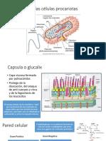 Orgánulos de La Célula Procariota