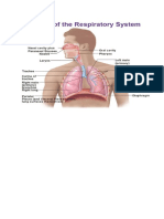 How_the_Lungs_and_Respiratory_System_Wor.docx