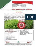 White Buffalo Grass