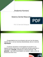 Anatomia I- Aula 10 - Sistema Genital Masculino