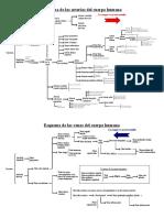 242564364-Esquema-de-las-arterias-y-venas-del-cuerpo-humano-pdf.pdf