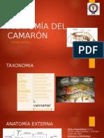 317270237 Anatomia Del Camaron Torres