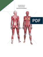 Muscular (Female)