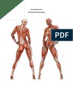 Muscular Sys Female Model Sheet