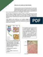 Configuración Interna de Las Glándulas Paratiroides