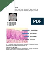 Células Escamosas Del Exocérvix