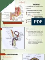 Pene Anatomia IV
