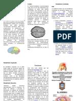 Triptico __ El Cerebro