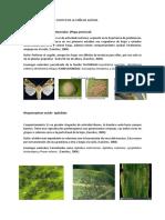 Informe de Plagas Del Cultivo de La Caña de Azúcar. Practica