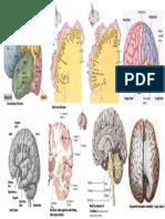 Brain Structure Laminate