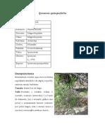 Ipomoea Quinquefolia y Heptafila