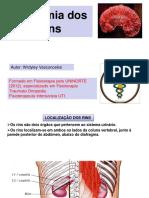 ANATOMIA DOS RINS (1).pdf