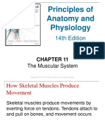 Anatomy and Physiology Chapter11 the Muscular System