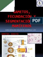 Gametos  fecundación y segmentación en mamíferos