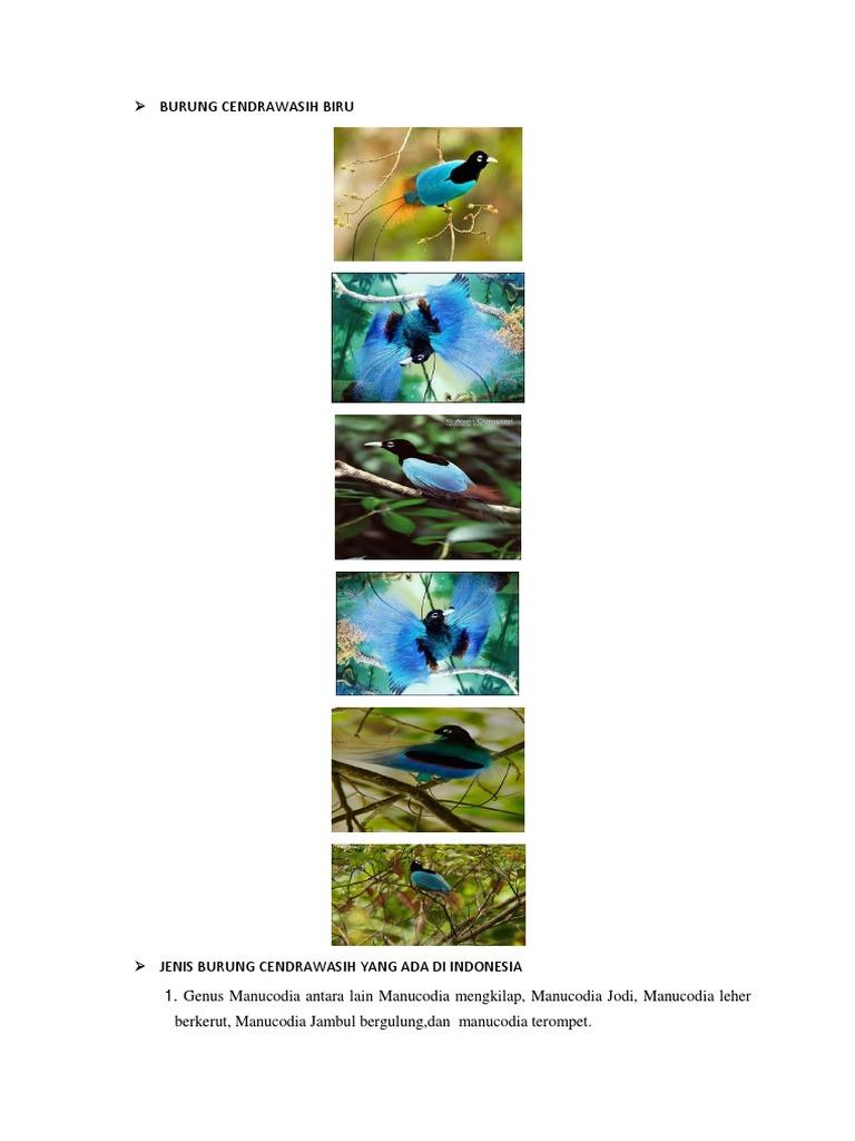 Burung Cendrawasih Biru