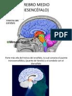 Cerebro Medio (Mesencéfalo)
